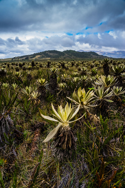 The strange plants of the Colombian paramo