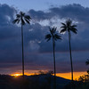 Wax palm at sunset