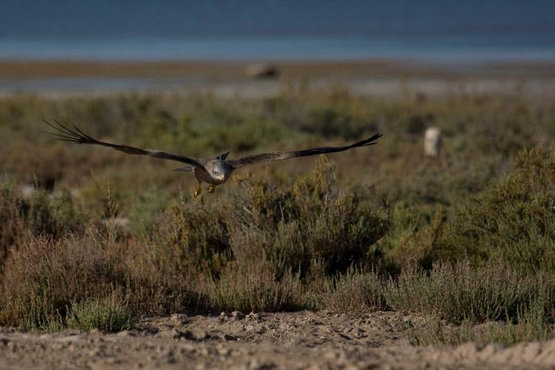 Kite in the Saltmarsh