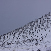 Antarctic Cormorants