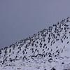 Antarctic Cormorants