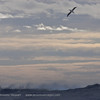 Wandering Albatross<br /> Drake Passage
