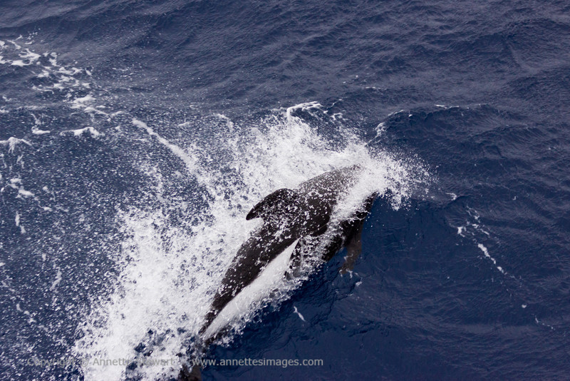 Hourglass Dolphin<br /> Drake Passage
