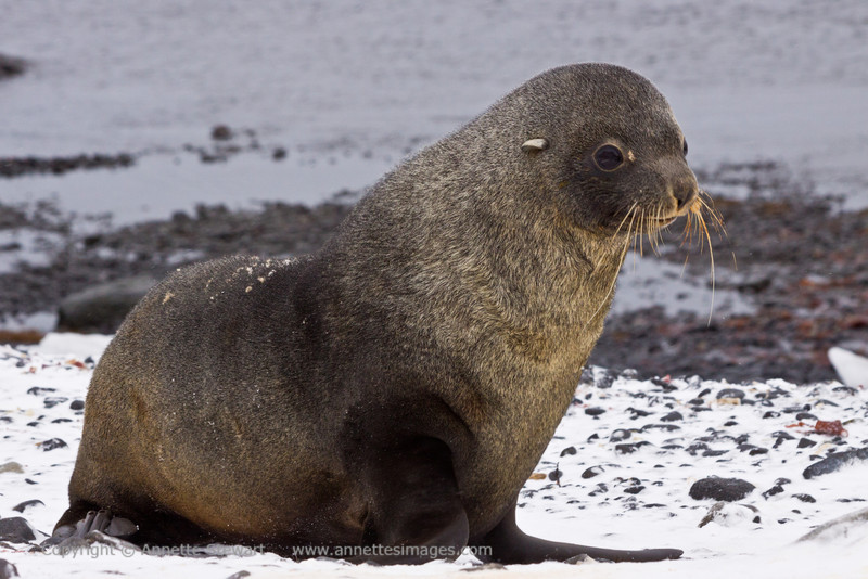 Antarctic Fur Seal<br /> Brown Bluff, Antarctica