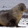 Antarctic Fur Seal<br /> Brown Bluff, Antarctica