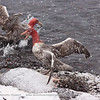 Southern Giant Petrels<br /> Feeding on dead seal