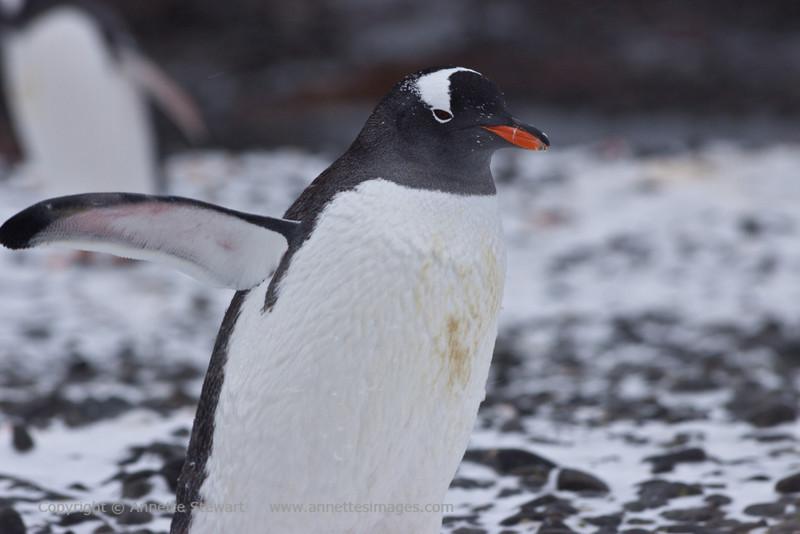 Gentoo Penguin<br /> Brown Bluff, Antarctica