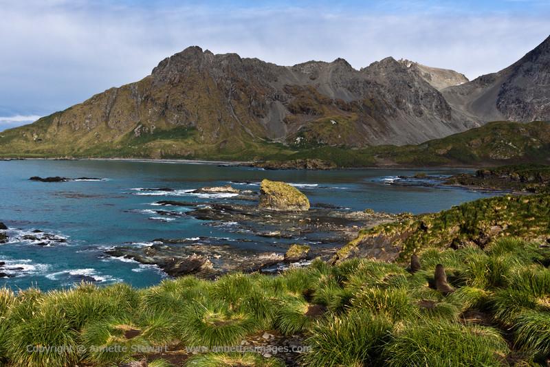 Fur-seals, Cooper Bay