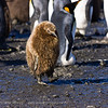 King Penguin chick