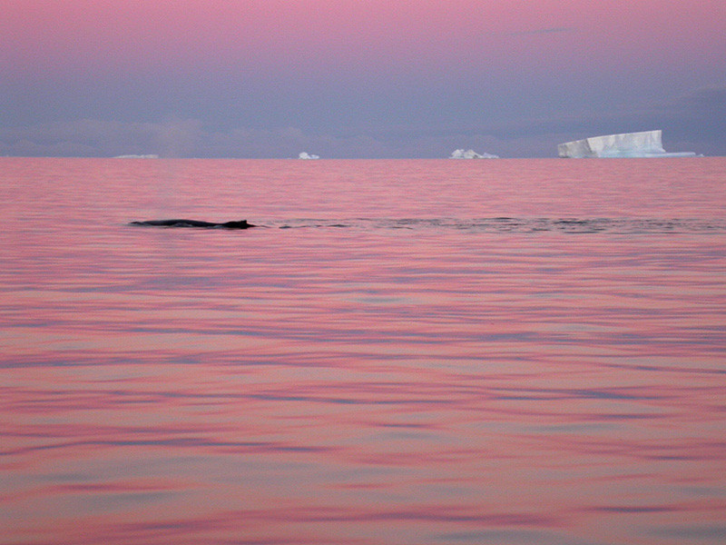 Noche rosa con ballena. Bransfield, 2003.