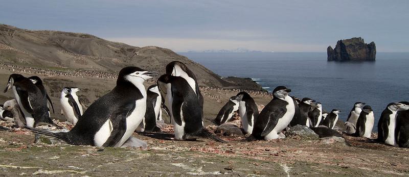 Colonia de pingüinos de barbijo en Isla Decepción