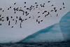 Pingüinos papúa y de barbijo comparten reposo en una resbaladiza pendiente de hielo a bordo de un témpano errante en el Estrecho de Bransfield.
