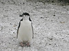 Pingüino de Barbijo, nieve y ceniza volcánica (2003)<br /> Chinstrap Penguin, snow and volcanic ashes