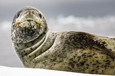 Leopard Seal Copyright 2020 Steve Leimberg UnSeenImages Com _DSC8568