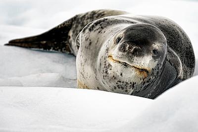 Leopard Seal Copyright 2020 Steve Leimberg UnSeenImages Com _DSC8730