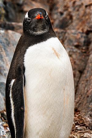 Sir Winston Penguin Copyright 2020 Steve Leimberg UnSeenImages ;Com _DSC7507