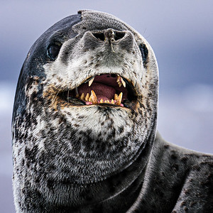 Business End of Leopard Seal Copyright 2020 Steve Leimberg UnSeenImagesCom _DSC8504
