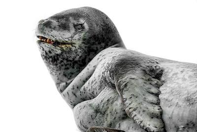 Leopard Seal Copyright 2020 Steve Leimberg UnSeenImages Com _DSC8664