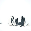 Chin strap penguins in snow storm