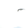 Snow petrel - the spirit of Antarctica