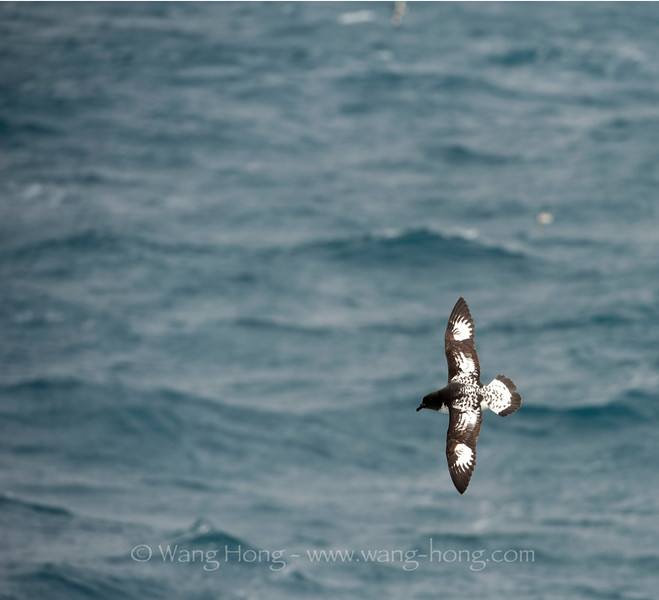 Cape petrel following the ship in Drake Passage