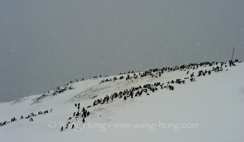 Home of penguins - in snow storm