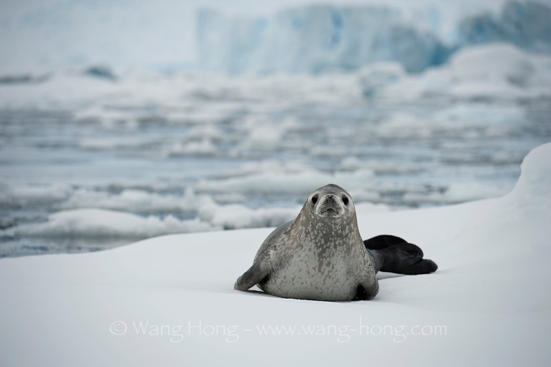 baby seal on floating ice