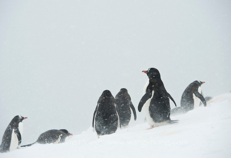 Penguins battling snow storm. They look like in a Disney cartoon.