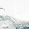 Snow petrel flying over icy hills
