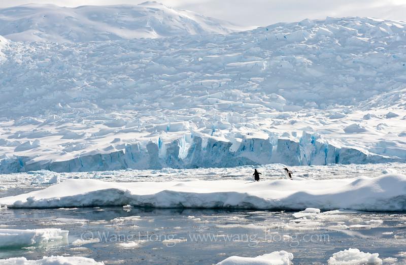 Penguins on floating ice,
