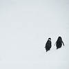 A chin strap pair walking up snow-covered hill.