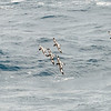 Cape petrels following the ship in Drake Passage. They have beautiful, painted wings and are often seen following the ship for miles.
