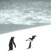 Gentoo penguins fighting the snow storm in Mikkelson Harbour