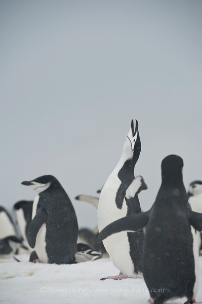 Mating season - penguins often seen and heard singing to attract attention of a potential mate.