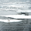 Gentoo penguins on floating ice