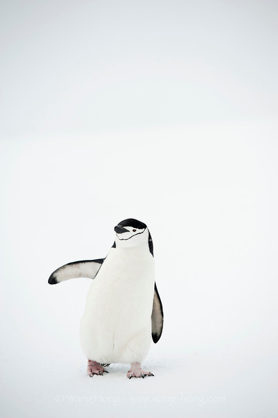 Chin strap penguin - always smiley