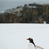A Gentoo penguin in the snow storm in Mikkelson Harbour