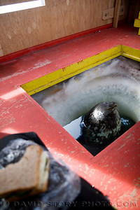 A Weddell seal in the hole of a dive hut near Evans Wall, McMurdo Sound, Antarctica