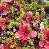 Tundra berries