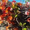 Beech in autumn colour