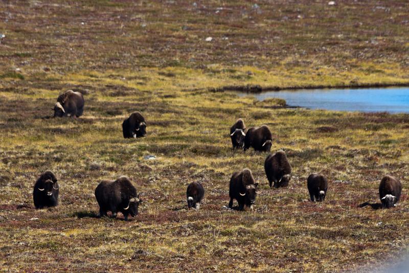 Muskox herd