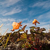 Cloudberries, and clouds