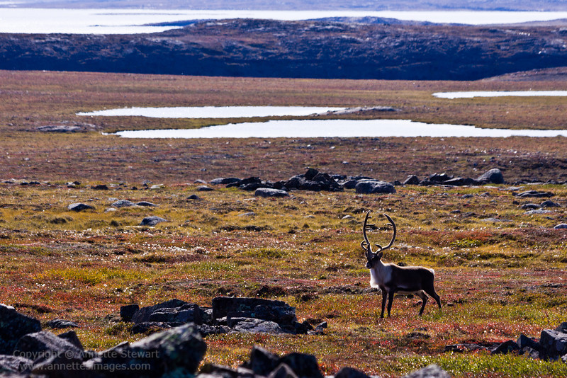 Caribou in autumn tundra