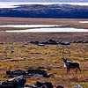 Caribou in autumn tundra