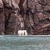 Polar Bear, Bylot island