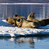 Walrus, Storfjorden