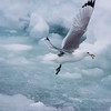Black-legged Kittiwake fishing amongst sea ice