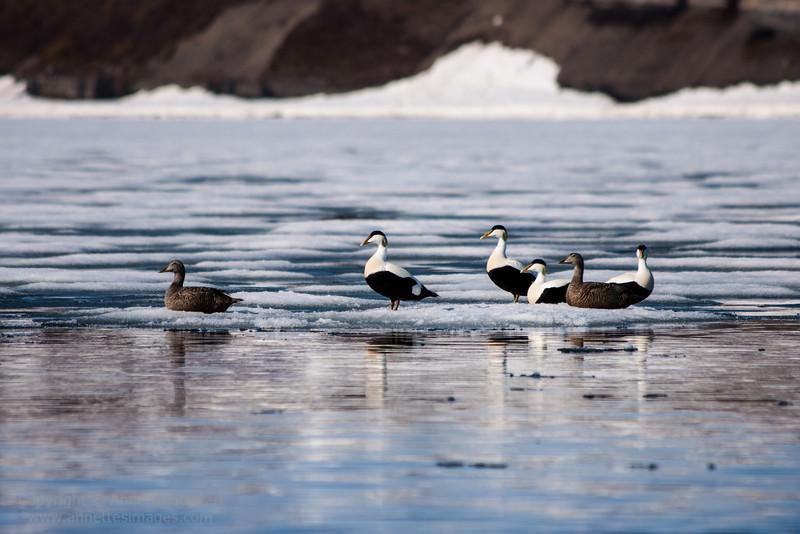 Common edier, Ekmanfjord