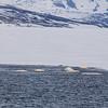 Beluga whales, Isfjord