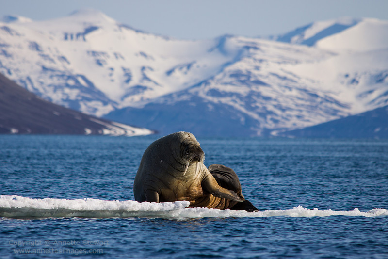 Walrus, Ekmanfjord